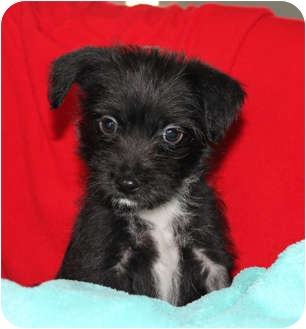 Schnauzer (Miniature)/Yorkie, Yorkshire Terrier Mix Puppy for adoption in West Palm Beach, Florida - ETHAN