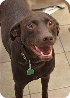 Labrador Retriever/Australian Shepherd Mix Dog for adoption in ...