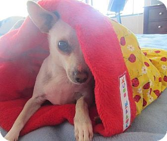 Chihuahua Mix Dog for adoption in San Diego, California - Mindy