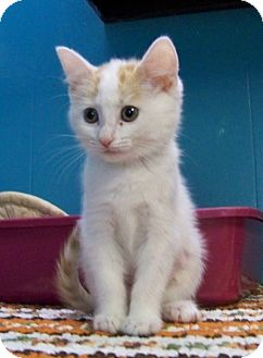 Domestic Shorthair Kitten for adoption in Dover, Ohio - Hannah
