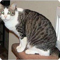 Domestic Shorthair Cat for adoption in Tucson, Arizona - Antoinette