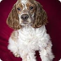 Adopt A Pet :: Nicholas - Rancho Mirage, CA