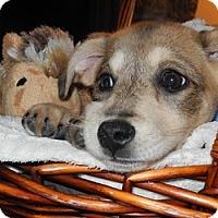 Adopt A Pet :: Fawnie - Marlton, NJ