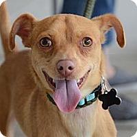 Adopt A Pet :: Jaxx - Rockaway, NJ
