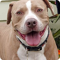 American Staffordshire Terrier Mix Dog for adoption in Ventura, California - Bevo