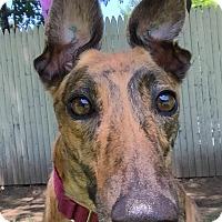 Adopt A Pet :: Tatum - Swanzey, NH