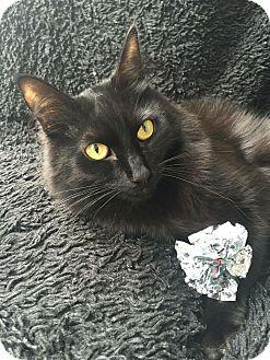 Domestic Longhair Cat for adoption in Burbank, California - Figaro