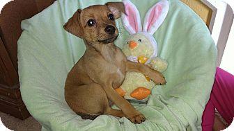 Miniature Pinscher Mix Puppy for adoption in Crestview, Florida - Ridge