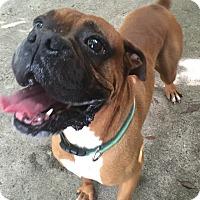 Adopt A Pet :: Hooper - Austin, TX