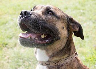 Boxer Mix Dog for adoption in Sarasota, Florida - Josie