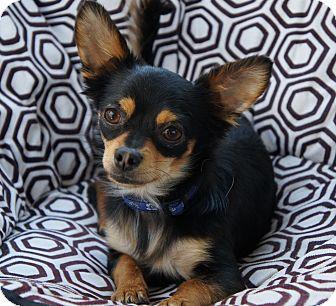 Chihuahua/Pomeranian Mix Dog for adoption in Los Alamitos, California - Calhoun