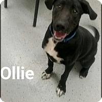 Adopt A Pet :: Ollie - Ottumwa, IA