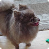 Adopt A Pet :: Gatsby - Mount Gretna, PA