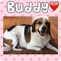 Beagle Mix Dog for adoption in Aurora, Illinois - Buddy