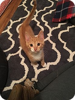 Domestic Shorthair Kitten for adoption in Chesterfield Township, Michigan - Trouble