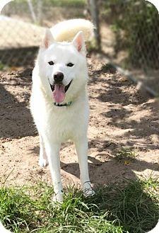 Siberian Husky/Samoyed Mix Dog for adoption in Jupiter, Florida - Denver