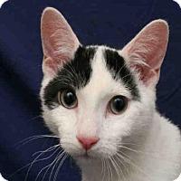 Domestic Mediumhair Cat for adoption in Urbana, Illinois - LUCAS