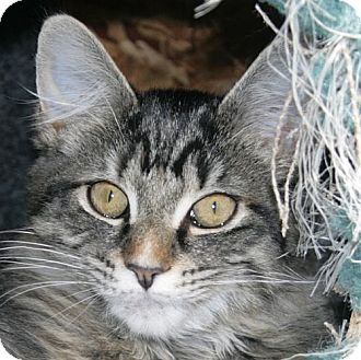 Domestic Shorthair Cat for adoption in Port Angeles, Washington - Bismarck