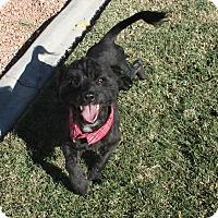 Adopt A Pet :: Sylvestor - Henderson, NV