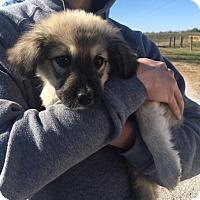 Adopt A Pet :: Lennie - Sparta, NJ
