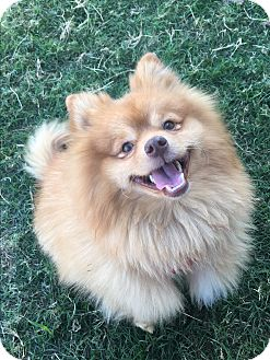 pomeranian oklahoma norman ok pomeranian meet rubble a dog for adoption 7635