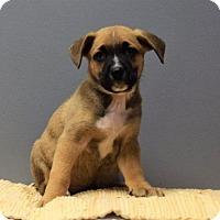 Adopt A Pet :: Squanto - Valparaiso, IN