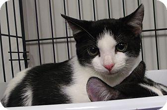 Domestic Shorthair Kitten for adoption in Somerset, Kentucky - Buttons