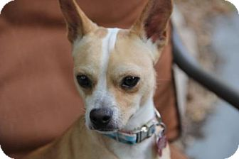 Chihuahua Mix Dog for adoption in tampa, Florida - Ernesto