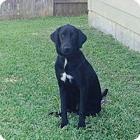 Labrador Retriever Mix Dog for adoption in Spring, Texas - Addie