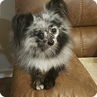 Adopt A Pet :: Sprinkles - Summerville, SC