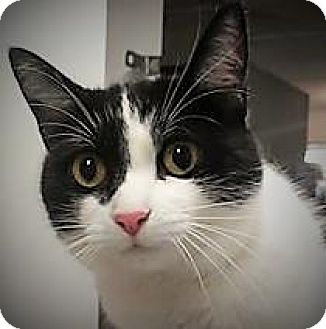 Domestic Shorthair Cat for adoption in Monroe, Michigan - Clementine