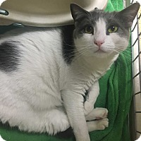 Domestic Shorthair Cat for adoption in Saylorsburg, Pennsylvania - Mancha