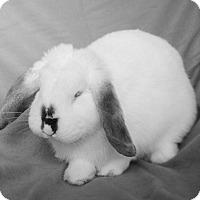 Adopt A Pet :: Morticia - Chicago, IL