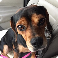 Adopt A Pet :: Darma - waterbury, CT