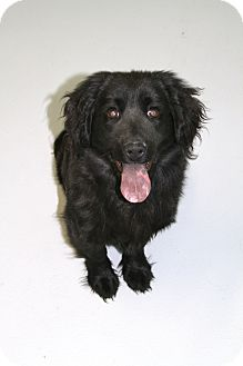 Chow Chow/Spaniel (Unknown Type) Mix Dog for adoption in Muskegon, Michigan - Spencer