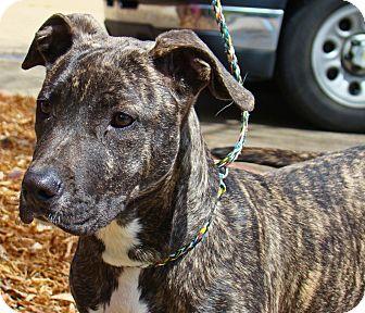 Pit Bull Terrier/Labrador Retriever Mix Dog for adoption in Groton ...