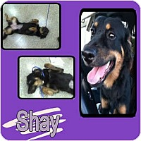 Adopt A Pet :: SHAY - Hollywood, FL