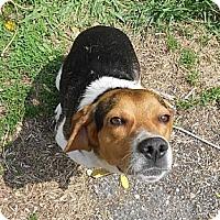 Adopt A Pet :: Beaker - Novi, MI
