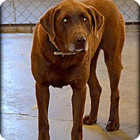 Adopt A Pet :: Choco - Meridian, ID