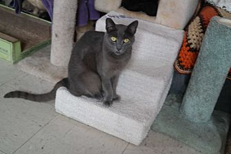 Domestic Shorthair Cat for adoption in San Pablo, California - DAVID