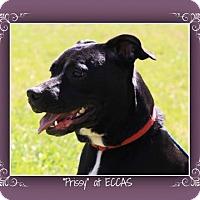 Adopt A Pet :: Prissy - Elizabethton, TN