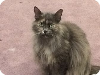 Domestic Longhair Cat for adoption in Buffalo, Wyoming - Moggy