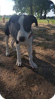 Labrador Retriever/Hound (Unknown Type) Mix Puppy for adoption in Eustace, Texas - Sam