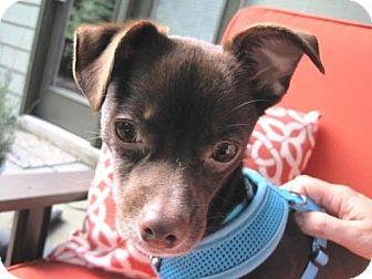 Chihuahua/Italian Greyhound Mix Dog for adoption in Alpharetta, Georgia - Talbot