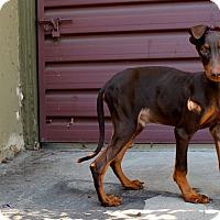 Adopt A Pet :: Chuck - Los Angeles, CA