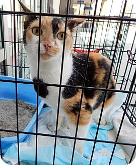 Calico Cat for adoption in White Bluff, Tennessee - Cali (Marina)