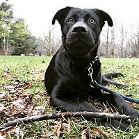Retriever (Unknown Type) Mix Puppy for adoption in Lucknow, Ontario - Koda-Pending adoption