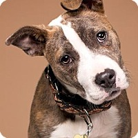 American Staffordshire Terrier Mix Dog for adoption in Pt. Richmond, California - SHASTA