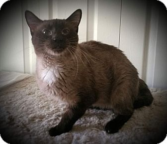 Siamese Cat for adoption in Fairborn, Ohio - Bittyson