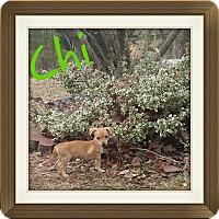 Adopt A Pet :: Chi (DC) - Allentown, PA